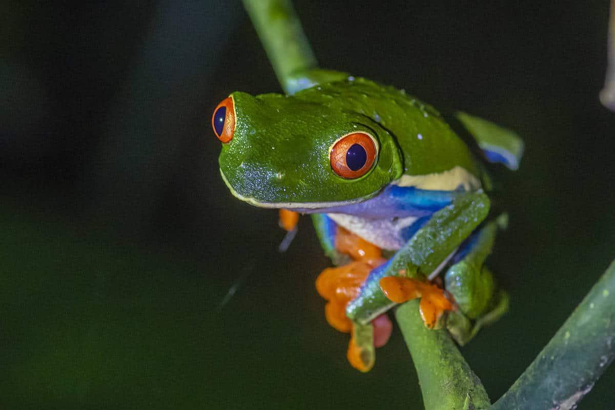 Fotoreis Costa Rica Roodoogmakikikker