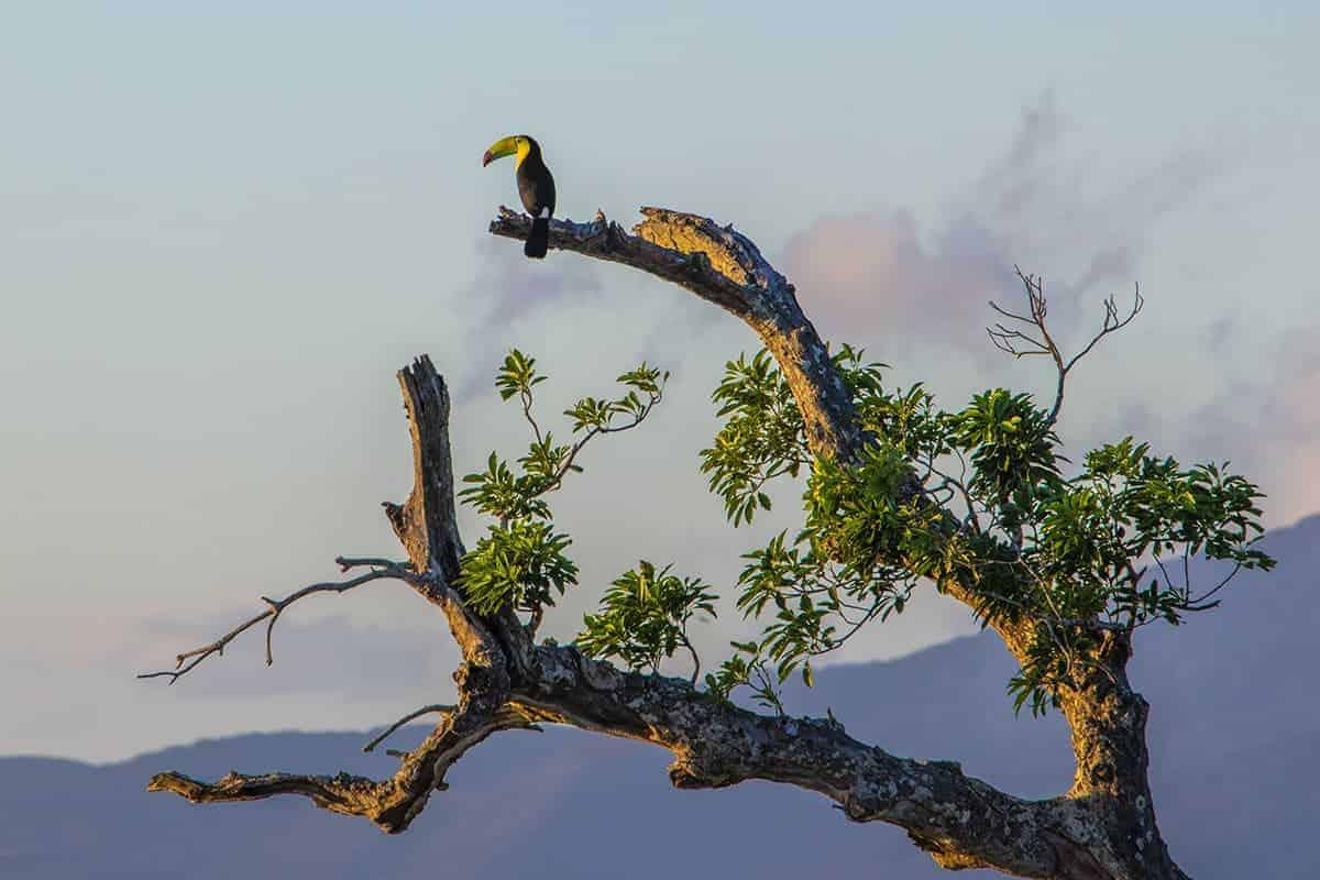 Fotoreis Costa Rica Tukan op tak