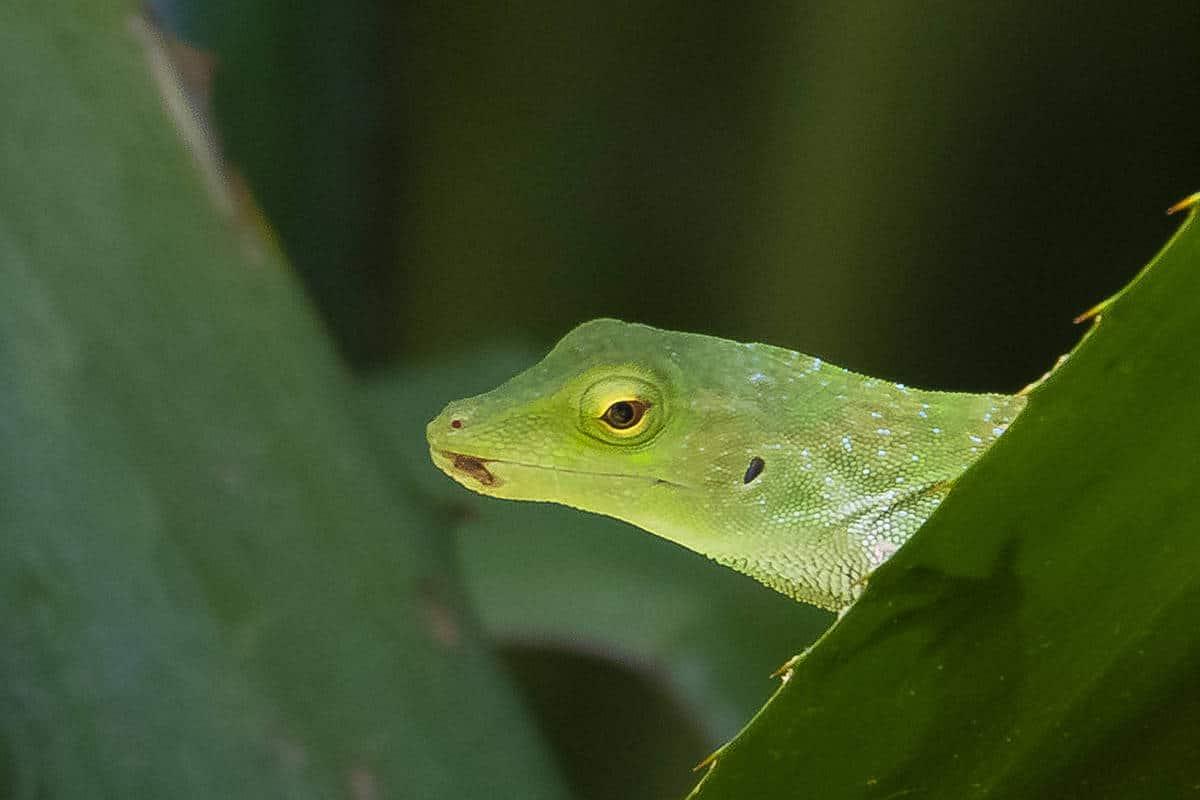 Fotoreis Costa Rica - kiekeboe basilisk