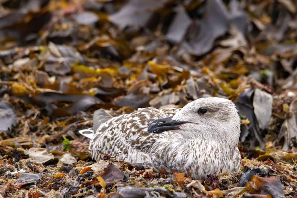Fotoreis Helgoland zeemeeuw