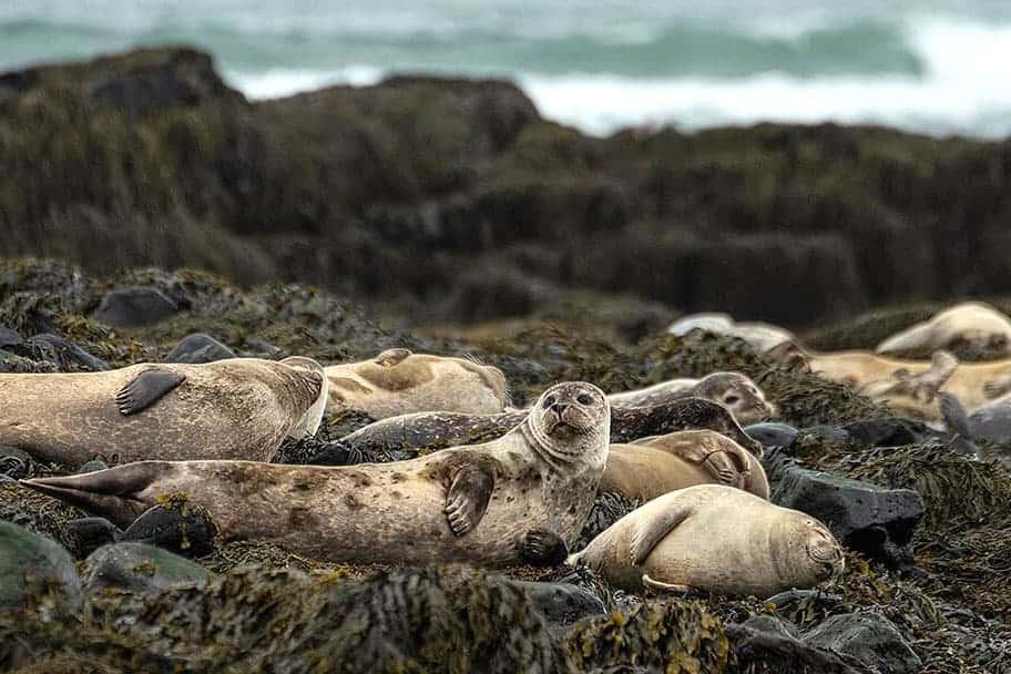 Fotoreis IJsland zeehonden