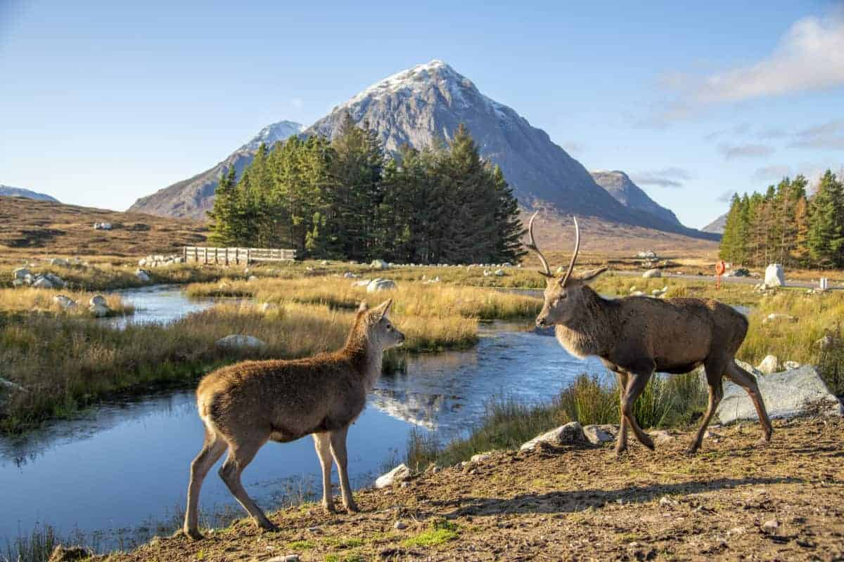 Fotoreizen Schotland edelherten bij Kingshouse Hotel