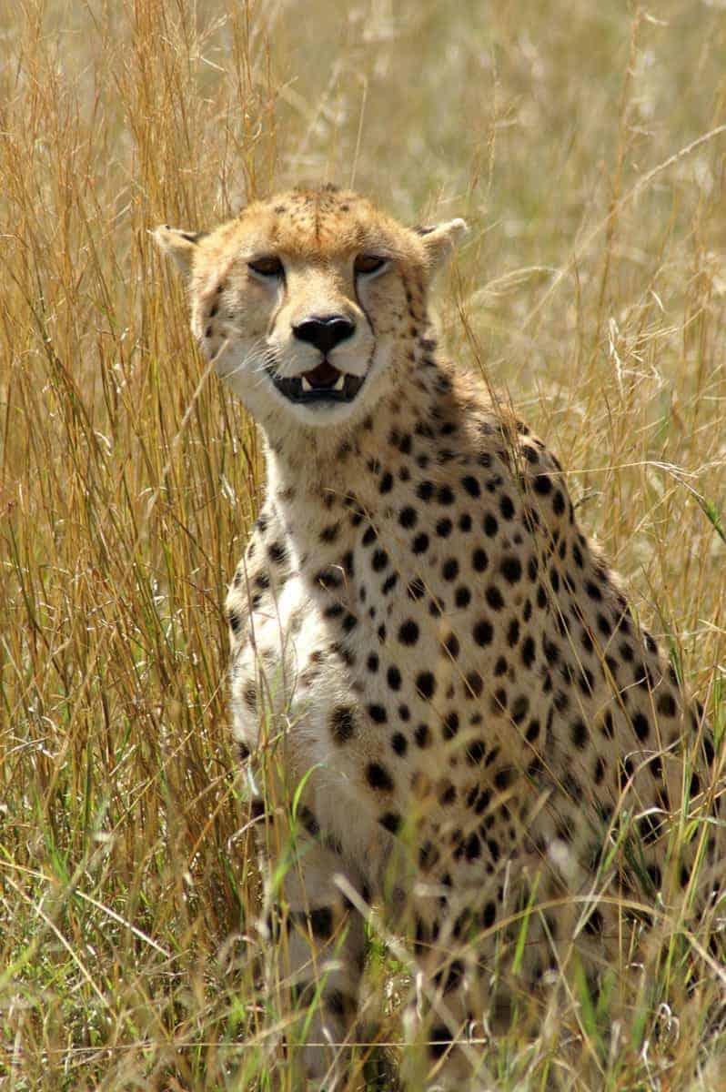 Fotoreizen Afrika Cheetah
