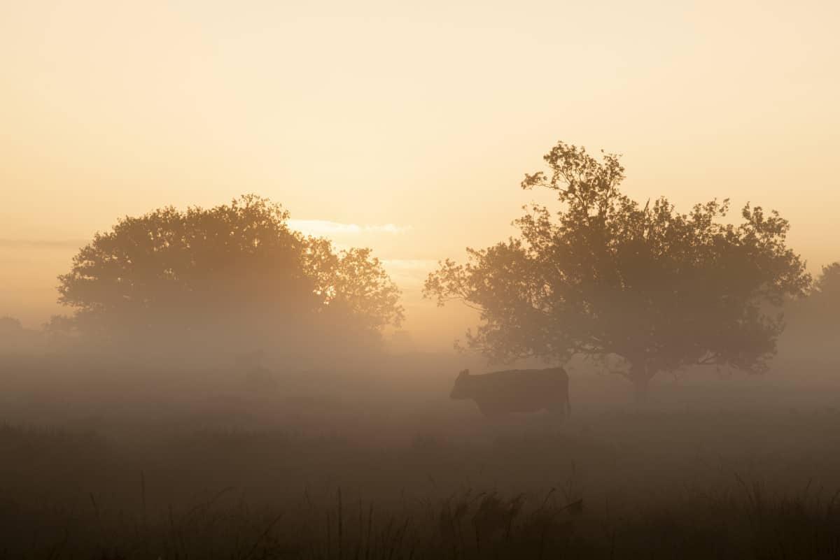 Koeien in de mist tijdens het Fotoweekend Brabant
