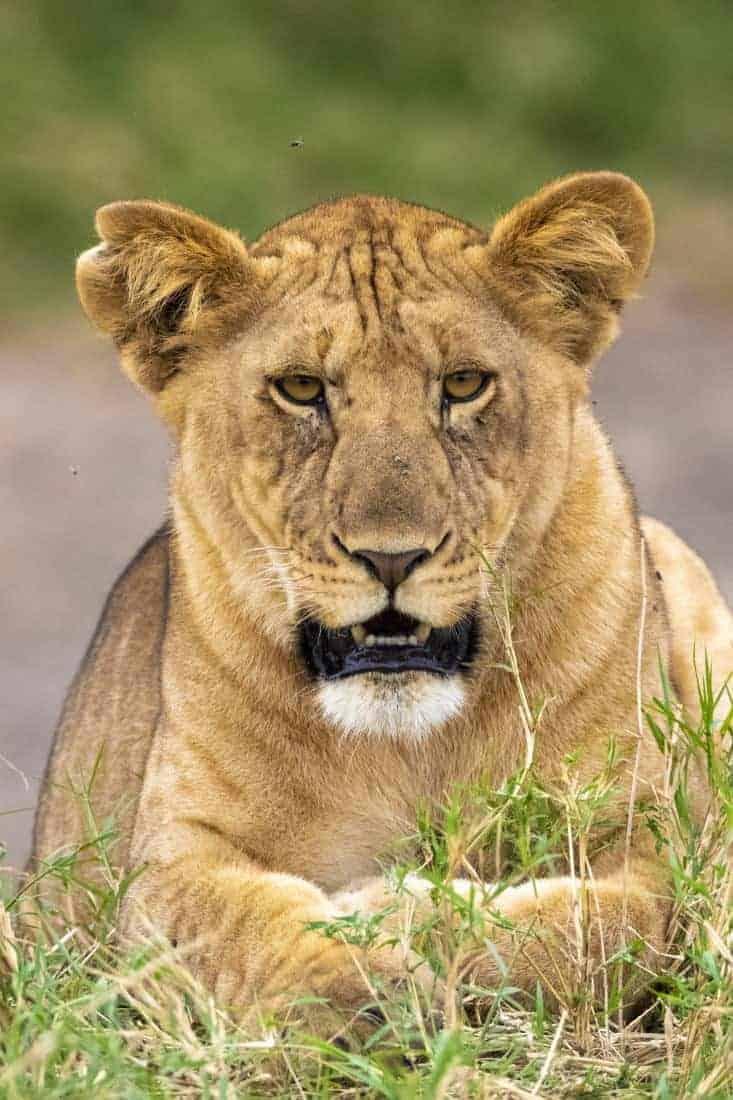 Leeuw gefotografeerd in Kenia tijdens een fotoreis