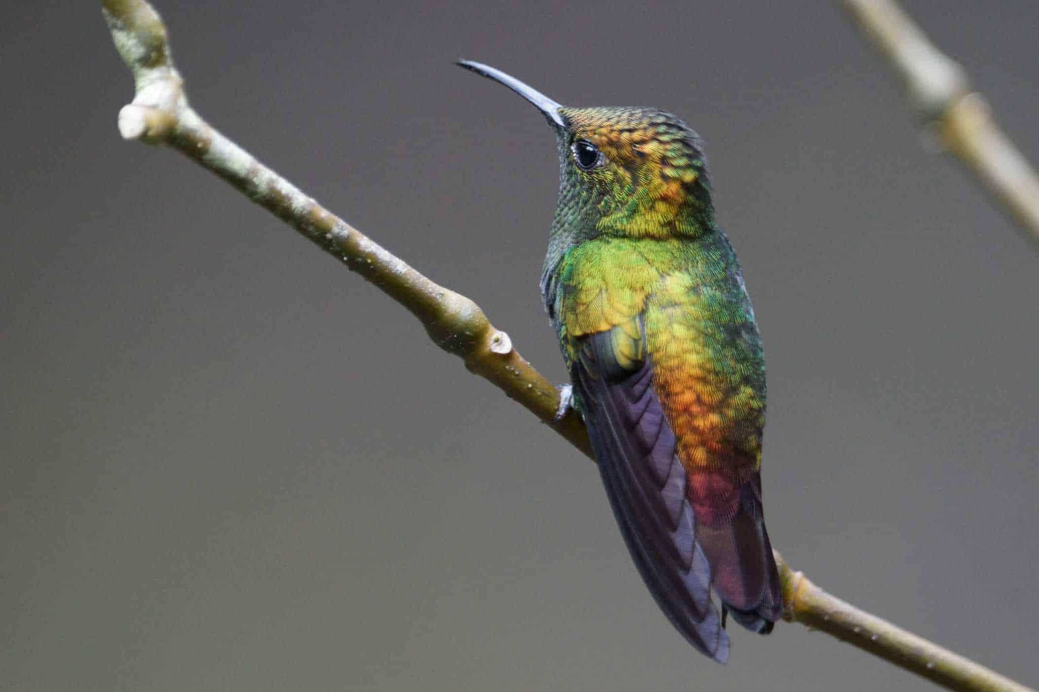 Zeer kleurige Kolibrie op een tak