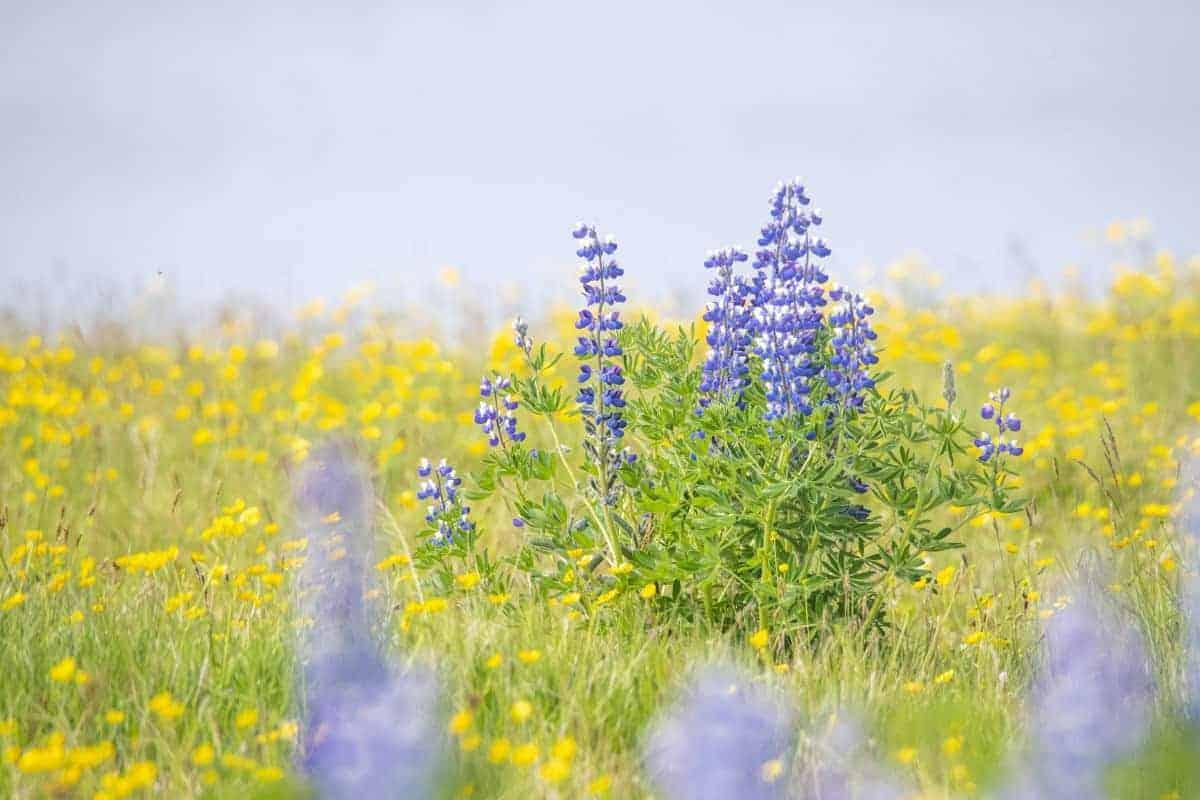Blauwe Luppinen - Fotoreis IJsland