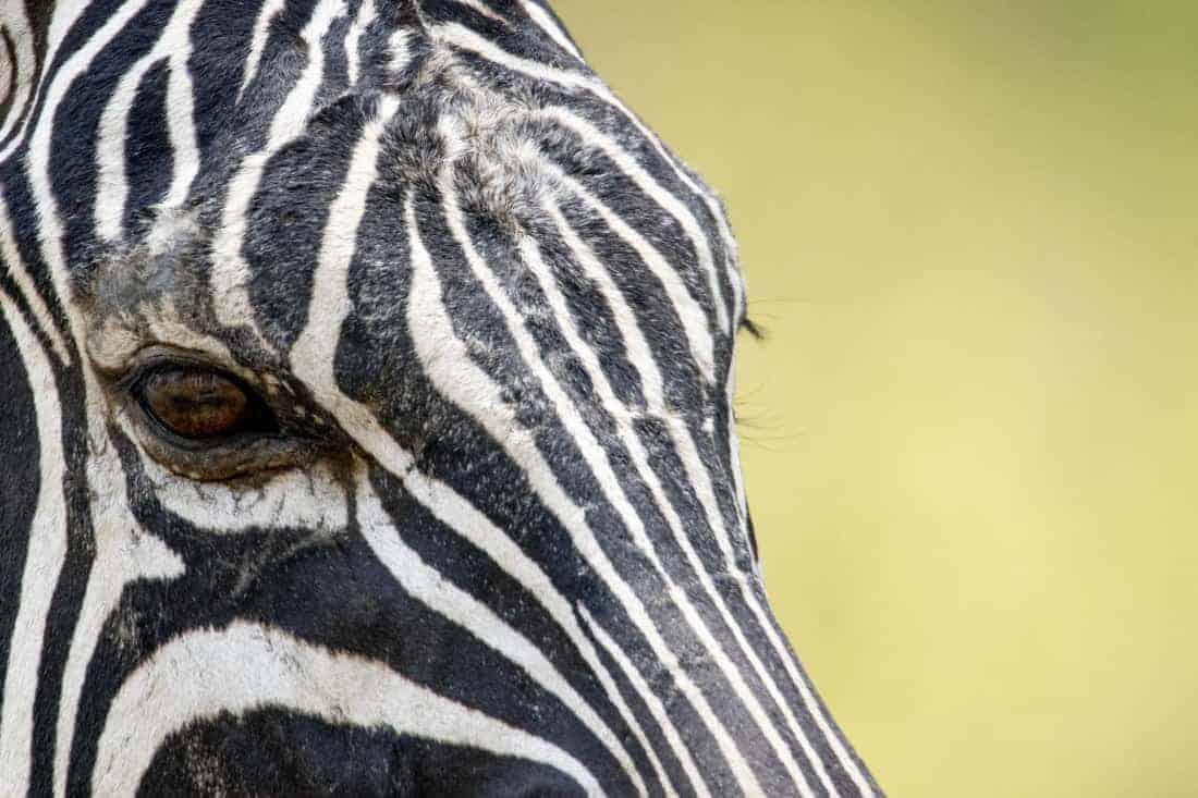Zebra oog Kenia Tanzania rondreis