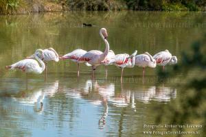 flamingo, flamingo's