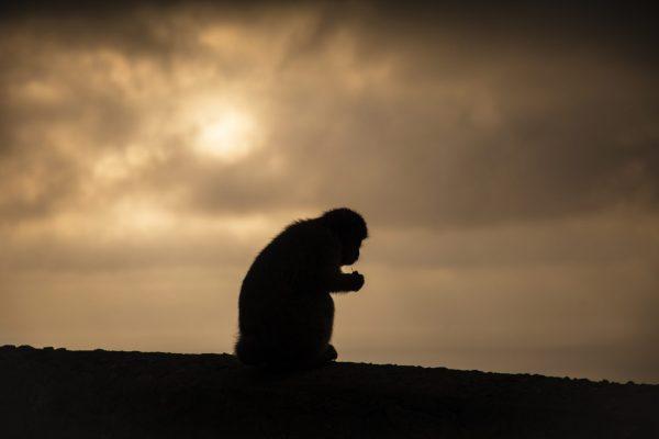 Silhouett av en ape tatt på toppen av fjellet i Gibraltar. Bildetittelen stammer fra det spanske navnet for ape, Mono.