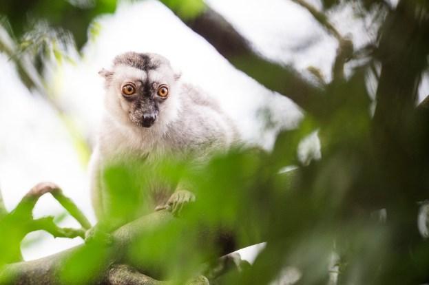 2015_november_19_Hvidhovedet brun lemur (Eulemur albifrons)