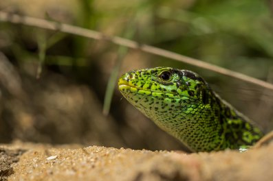 500px Photo ID: 109862451 - Male sand lizard, Lacarta agilis, a species that tends to be pretty skittish and nervous. this one let me get pretty close though. Hope you like it