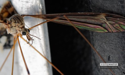 Crane-fly sticking to a car