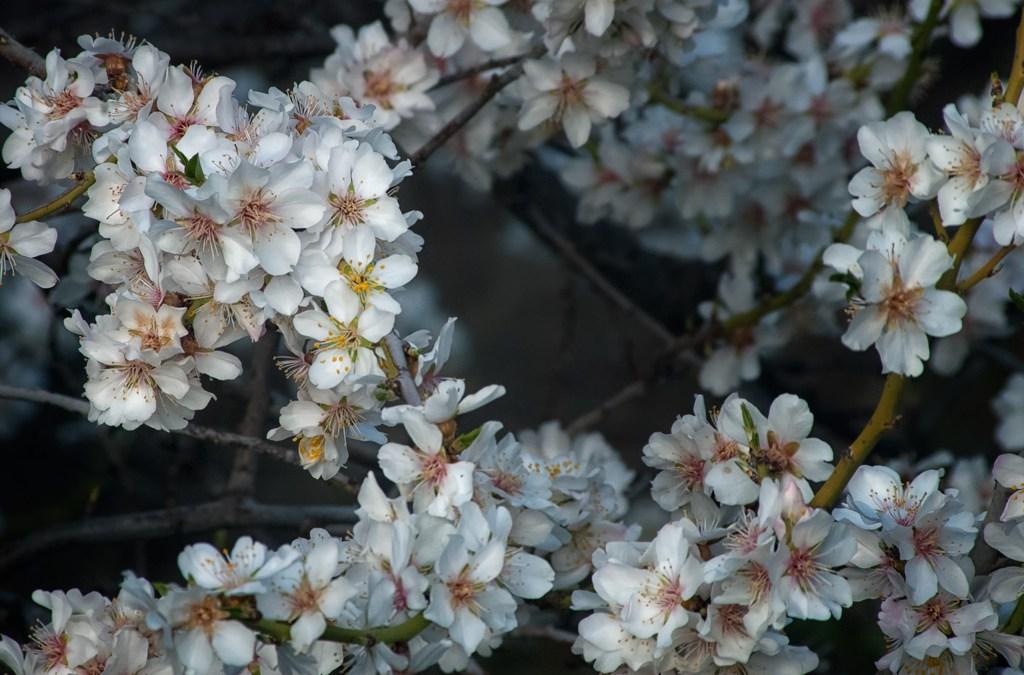 Almendros en flor fotomatiz
