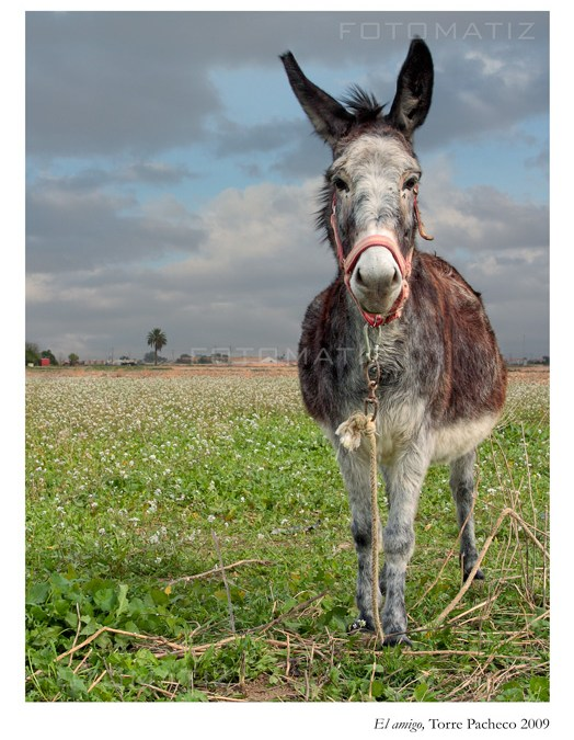 El Amigo burro de Torre Pacheco