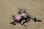 DSC_0096_Centaurea aegialophila