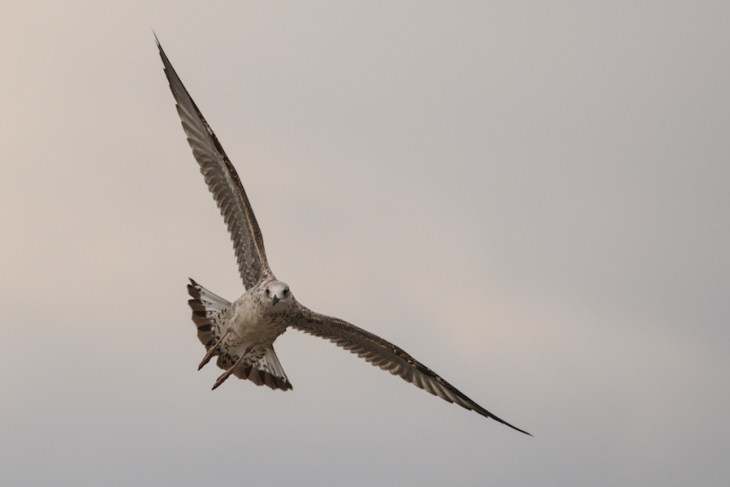 Mewa - Seagull