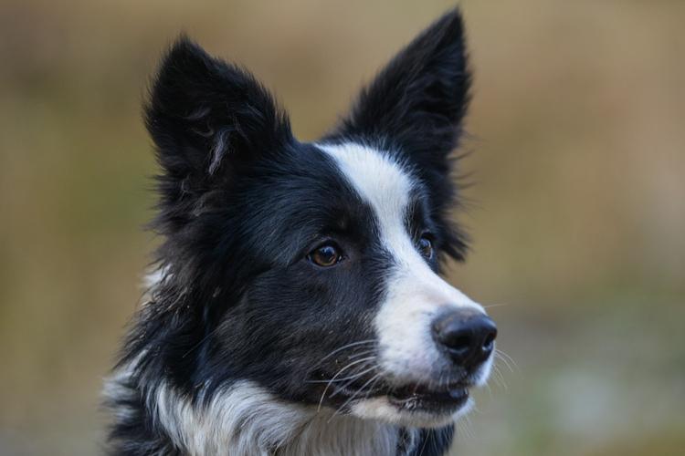 Głowa szczeniaka bordera collie- portret fotograficzny