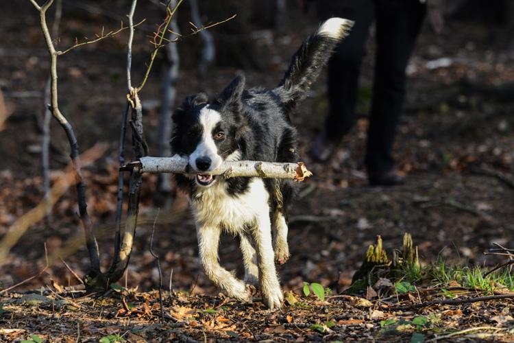Biegnący pies w lesie, fotografia zwierząt domowych