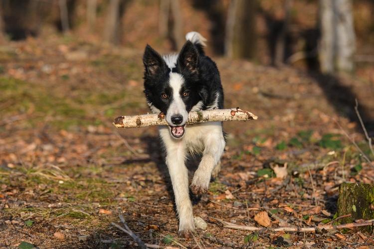 Aportujący pies