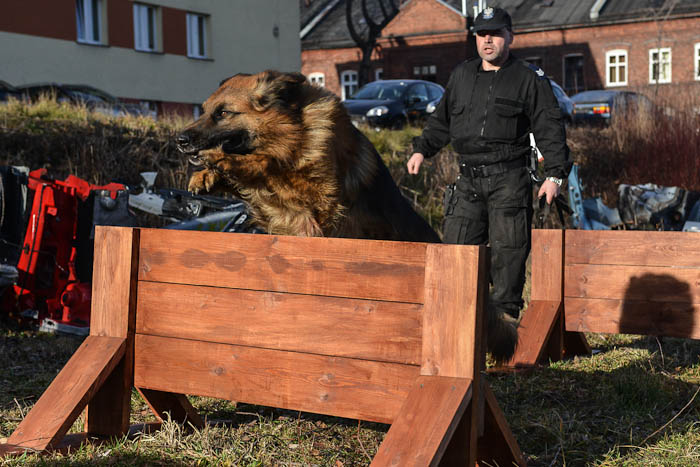 Pies policyjny przeskakujący przeszkodę