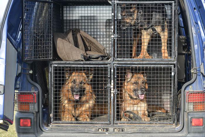 Psy policyjne w radiowozie