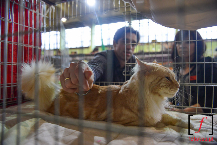 Rasowy kot w klatce