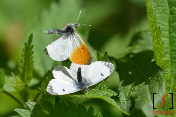 Motyle- rozmnazanie