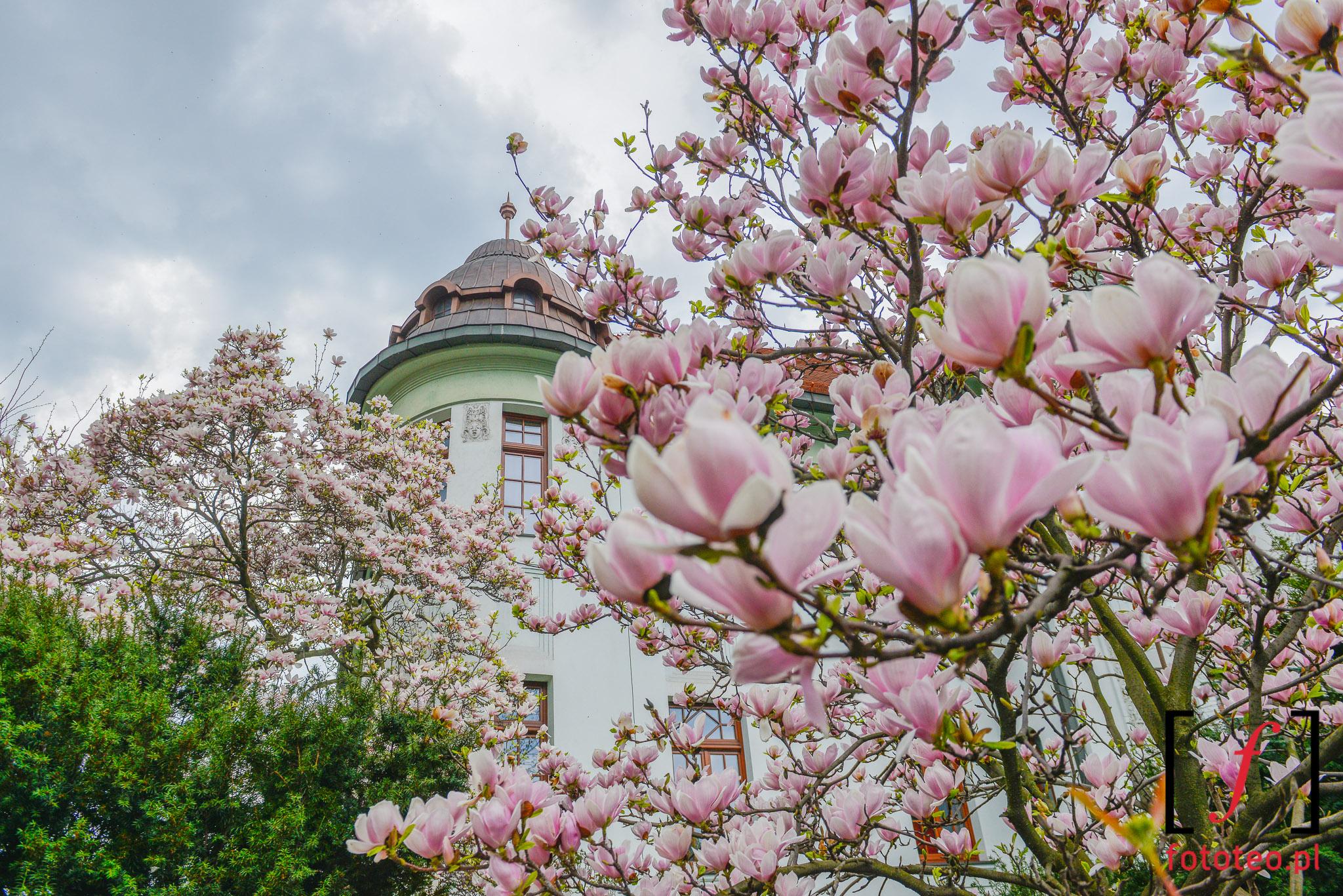 Fotografia Cieszyn kwitnace magnolie