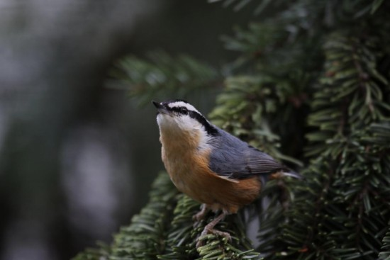 redbreasted nuthatch Burnaby BC Canada