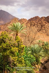 Date palms and fruit trees in Arabian Desert Wadi.