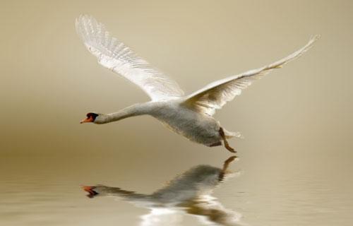 swan print on acrylic