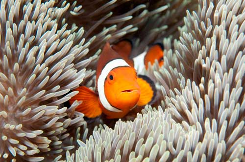 clownfish art print poster design