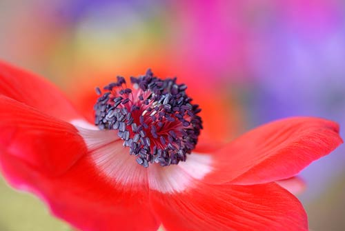 macro red flower print canvas