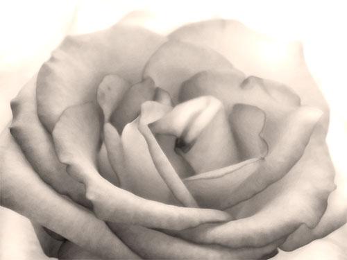 soft rose print