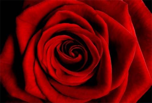 Tim Wallace rose image
