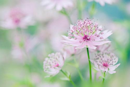Little Masterwort floral canvas art