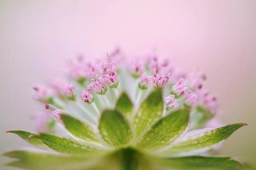 Photo of the Month - Astrantia