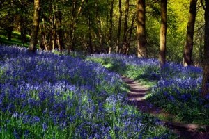 Into The Bluebells