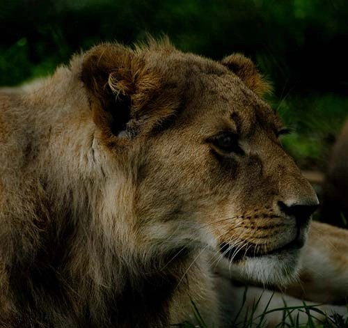 The Beautiful Lioness