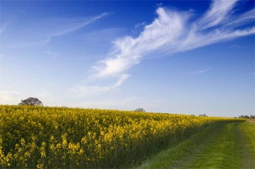 Rapeseed Summer Field