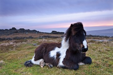 Shetland Pony resting on Dartmoor moorland at sunrise, Belstone Tor, Dartmoor, Devon, England. Winter (January) 2012. © Adam Burton