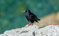 Chough on the lookout against a turquoise sea. Nikon D4, 300mm + 2 x converter at 600mm, ISO 800, 1/1250 sec at f/9. © Andrew Marshall