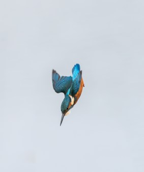 Kingfisher dives for a fish. Nikon D4, 300mm + 2 x converter at 600mm, ISO 800, 1/1250 sec at f/10. © Andrew Marshall