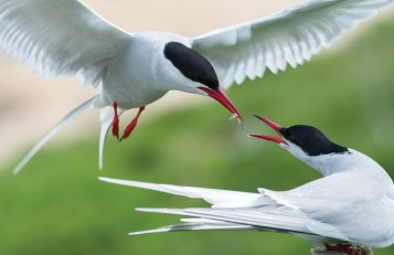 Arctic tern passes a sand eel to his mate. Nikon D4, 300mm, ISO 800, 1/1250 sec at f/10. © Andrew Marshall