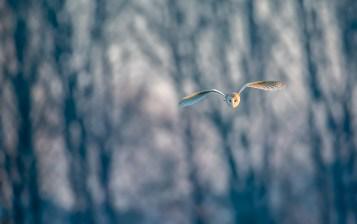 Barn owl with Lakenheath poplars backdrop. Nikon D4, 500mm + 1.4 x converter at 700mm, ISO 1600, 1/1250 sec at f/5.6. © Andrew Marshall