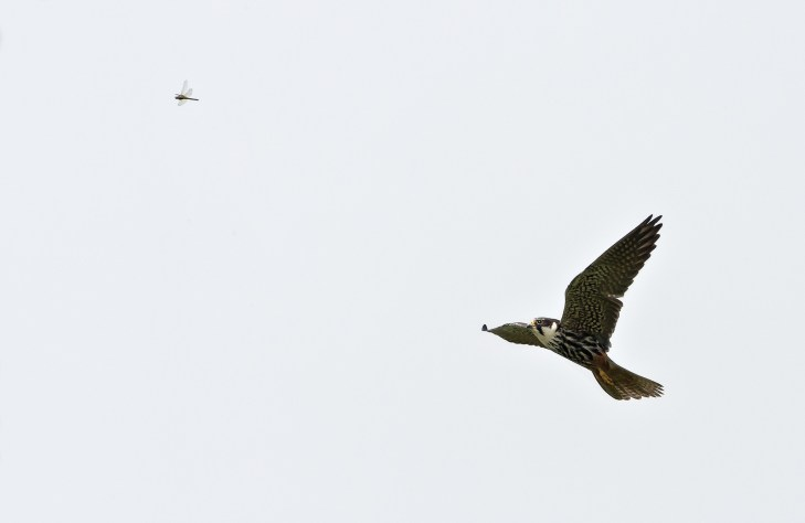 Hobby homing in on dragon fly. Nikon D4, 300mm + 2 x converter at 600mm, ISO 2500, 1/3200 sec at f/16. © Andrew Marshall