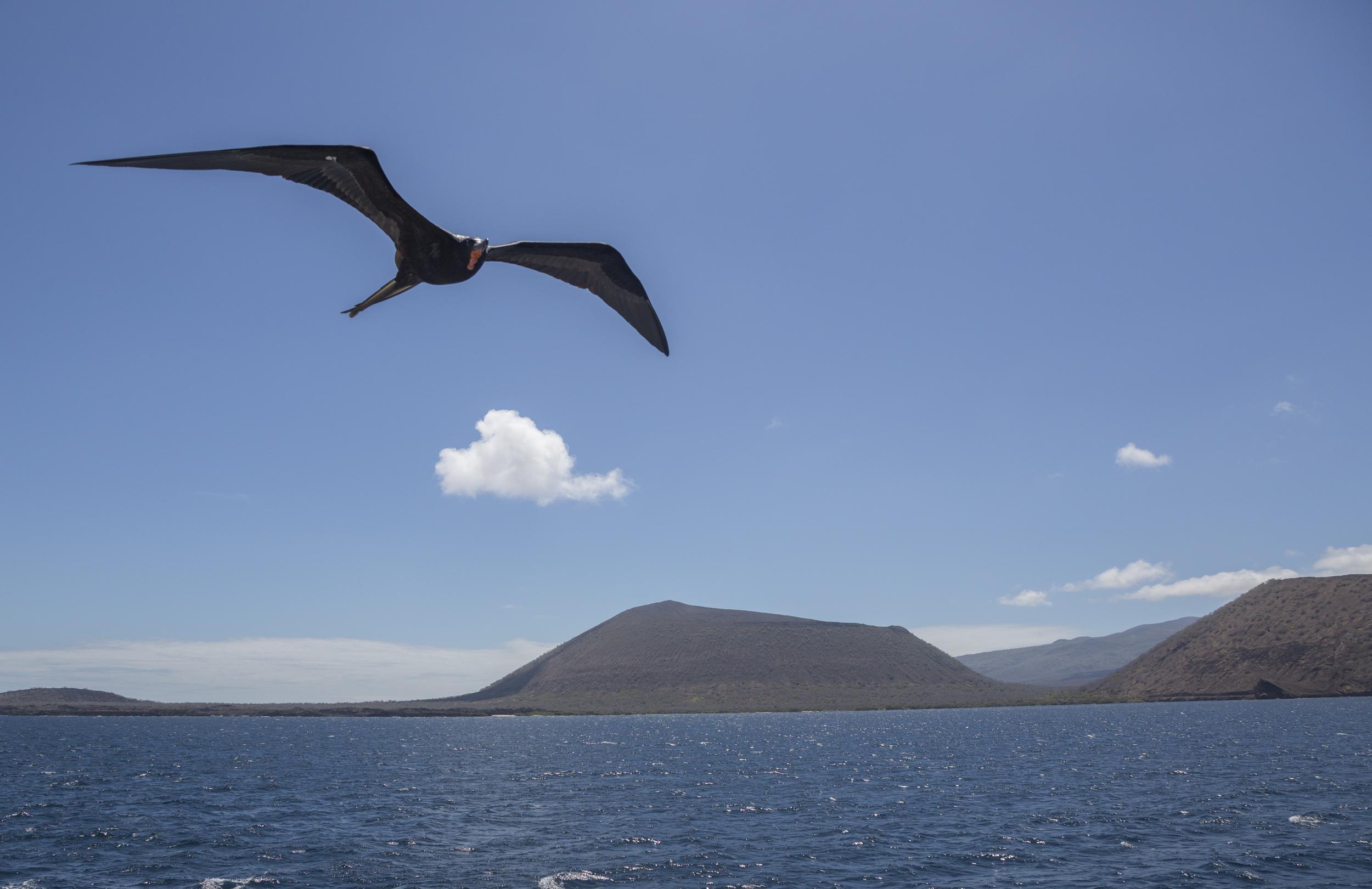 Frigate bird following our boat.