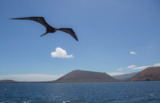 Frigate bird following our boat.