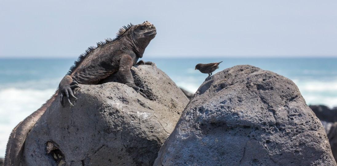 Iguana meets finch on the beach on Isabella Island.